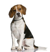 Beagle, 1 year old, sitting in front of white background — Stock Photo