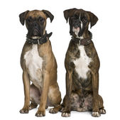 Two Boxer dogs, 1 year old, sitting in front of white background — Stock Photo
