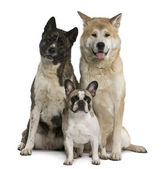 Akita inu dogs and French bulldog sitting in front of white background — Stock Photo
