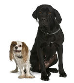 Cane corso and Cavalier king Charles dogs sitting in front of white background — Stock Photo