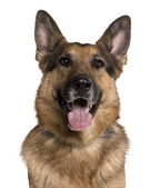 German shepherd, 5 years old, in front of white background — Stock Photo