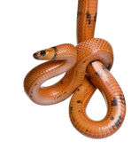 Honduran milk snake, Lampropeltis triangulum hondurensis, hanging in front of white background — Stock Photo