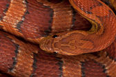 Close-up of corn snakeskin or red rat snakeskin, Pantherophis guttattus — Stock Photo