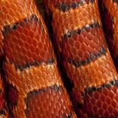 Close-up of corn snakeskin or red rat snakeskin, Pantherophis guttattus — Stock Photo