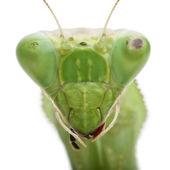 Stagmatoptera Sp, Stagmatoptera, praying mantis — Stock Photo