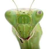 Stagmatoptera Sp, Stagmatoptera, praying mantis — Stock Photo
