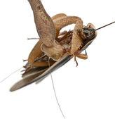 African Mantis or African Praying Mantis, Sphodromantis lineola — Stock Photo