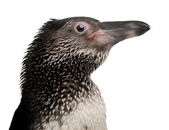 Young Humboldt Penguin, Spheniscus humboldti, standing in front of white background — Stock Photo