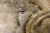 Close-up of Arles Merino sheep, ram, 5 years old — Stock Photo