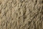 Close-up of Arles Merino sheep wool — Stock Photo