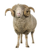 Arles Merino sheep, ram, 5 years old, standing in front of white background — Stock Photo