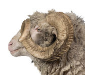 Side view of Arles Merino sheep, ram, 5 years old, in front of white background — Stock Photo