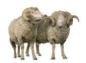 Two Arles Merino sheep, rams, standing in front of white background — Stock Photo