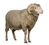 Arles Merino sheep, ram, 3 years old, standing in front of white background — Stock Photo