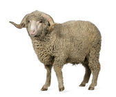 Arles Merino sheep, ram, 1 year old, standing in front of white — Stock Photo