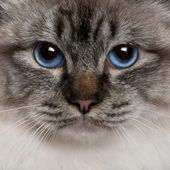 Close up of a Birman (8 months old) — Stock Photo