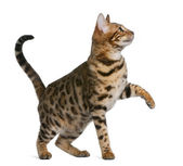 Bengal kitten (7 months) — Stock Photo