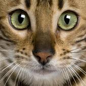 Close up of a Bengal kitten (7 months) — Stock Photo
