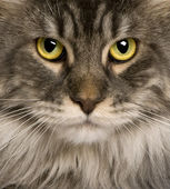 Close up of a Maine Coon (2 years old) — Stock Photo