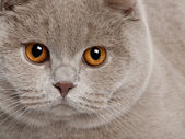Close up of a british shorthair (9 months old) — Stock Photo
