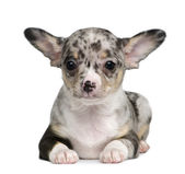 Blue merle Chihuahua Puppy, 8 weeks old, sitting in front of white background — Stock Photo