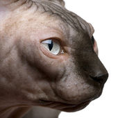 Close-up of Sphynx cat, 1 year old, in front of white background — Stock Photo