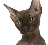 Old Sphynx cat, 12 years old, in front of white background — Stock Photo