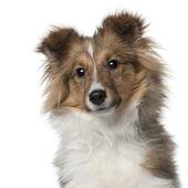Sheltie štěně, 5 měsíců staré, před bílým pozadím — Stock fotografie