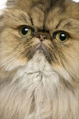 Close-up of British shorthair cat, 11 months old — Stock Photo