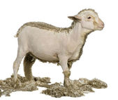 Partially shaved Merino lamb, 4 months old, in front of white background — Stock Photo