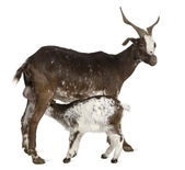 Female Rove goat with young goat drinking underneath in front of white background — Foto de Stock