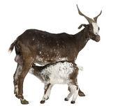若いヤギを下に白い背景の前に飲むと女性粗紡糸のヤギ — ストック写真