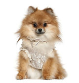 German Spitz dressed in lace, 15 months old, sitting in front of white background — Stock Photo