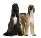 Two Afghan hounds, 1 and 2 years old, in front of white background — Stock Photo