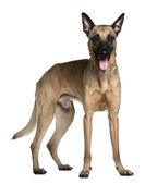 Berger Malinois, 3 years old, standing in front of white background — Stock Photo