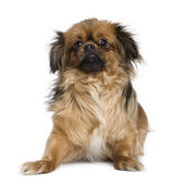 Tibetan spaniel, 4 years old, in front of white background — Stock Photo