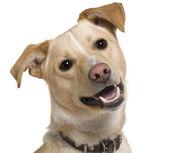 Primer plano del perro de raza mixta, 9 meses de edad, frente a fondo blanco — Foto de Stock