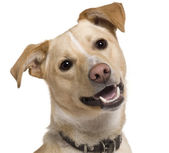 Close-up of Mixed breed dog, 9 months old, in front of white background — Stock Photo
