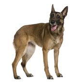 Belgian Shepherd dog, 9 years old, standing in front of white background — Stock Photo