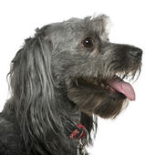 Close-up of Tibetan terrier, 3 years old, in front of white background — Stock Photo