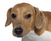 Close-up of Mixed-breed dog, 10 months old, in front of white background — Stock Photo