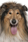Close-up of Rough collie with tongue out, 5 years old, in front of white background — Stock Photo