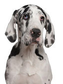 Great Dane puppy, 6 months old, in front of white background — Stock Photo