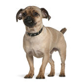 Mixed-breed dog, 1 year old, standing in front of white background — Stock Photo