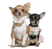 Two Chihuahuas, 6 months and 1 year old, sitting in front of white background — Stock Photo