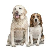 Labrador retriever and Beagle, 5 years old and 3 years old, sitting in front of white background — Stock Photo