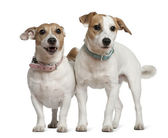 Two Jack Russell terriers, 5 years old and 6 months old, standing in front of white background — Stock Photo