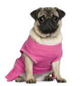 Pug dressed in pink, 7 months old, sitting in front of white background — Stock Photo