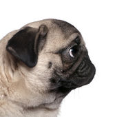 Profile view of a Pug, 7 months old, in front of white background — Stock Photo