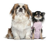 Chihuahua and Pekingese, 23 months and 9 months old, sitting in front of white background — Stock Photo